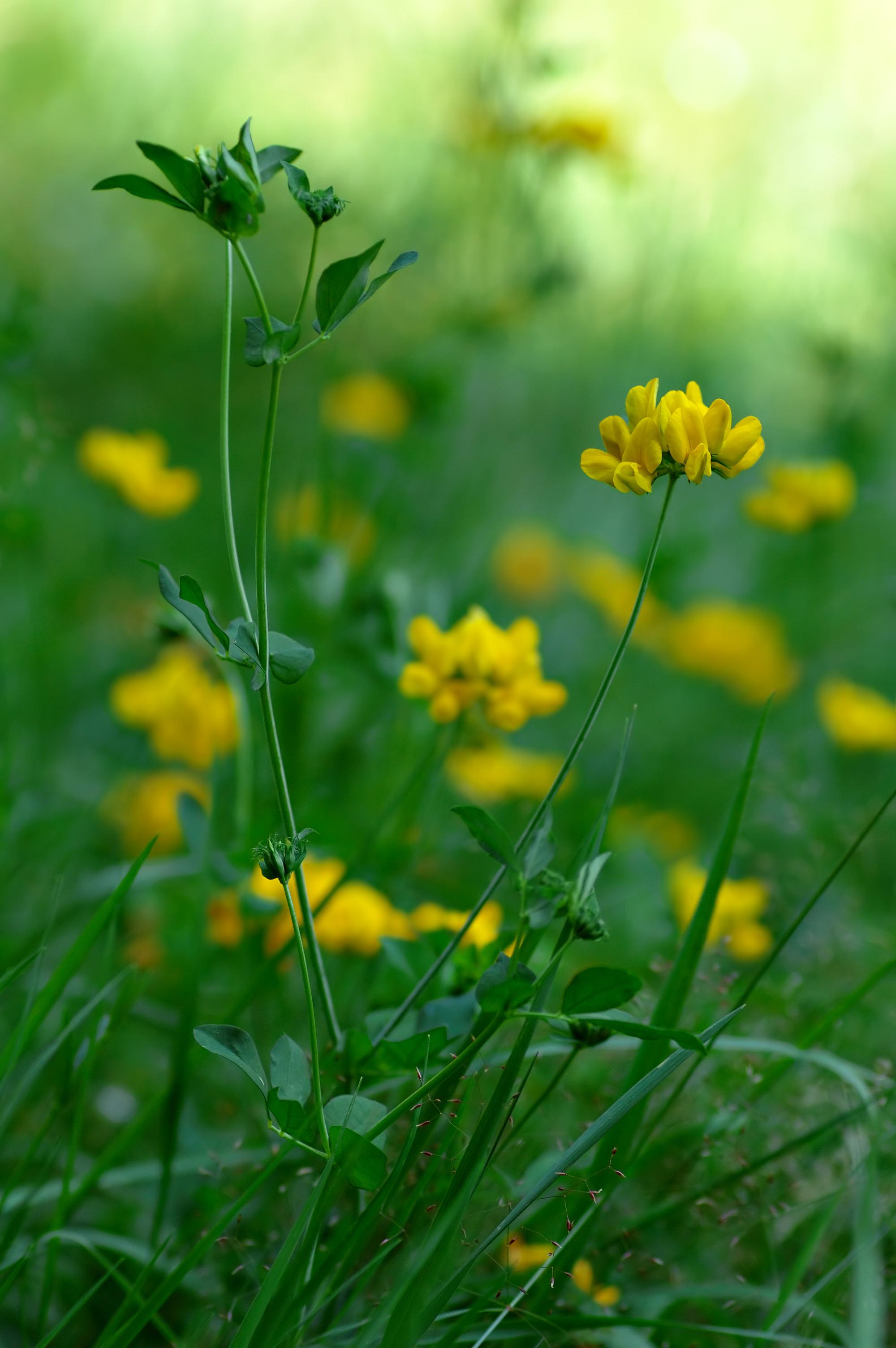 Dataja lotus pedunculatus one plant aka