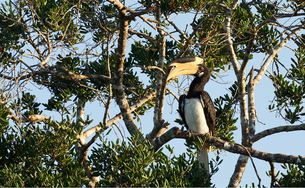 https://upload.wikimedia.org/wikipedia/commons/9/98/Malabar_pied_hornbill_on_a_tree.jpg