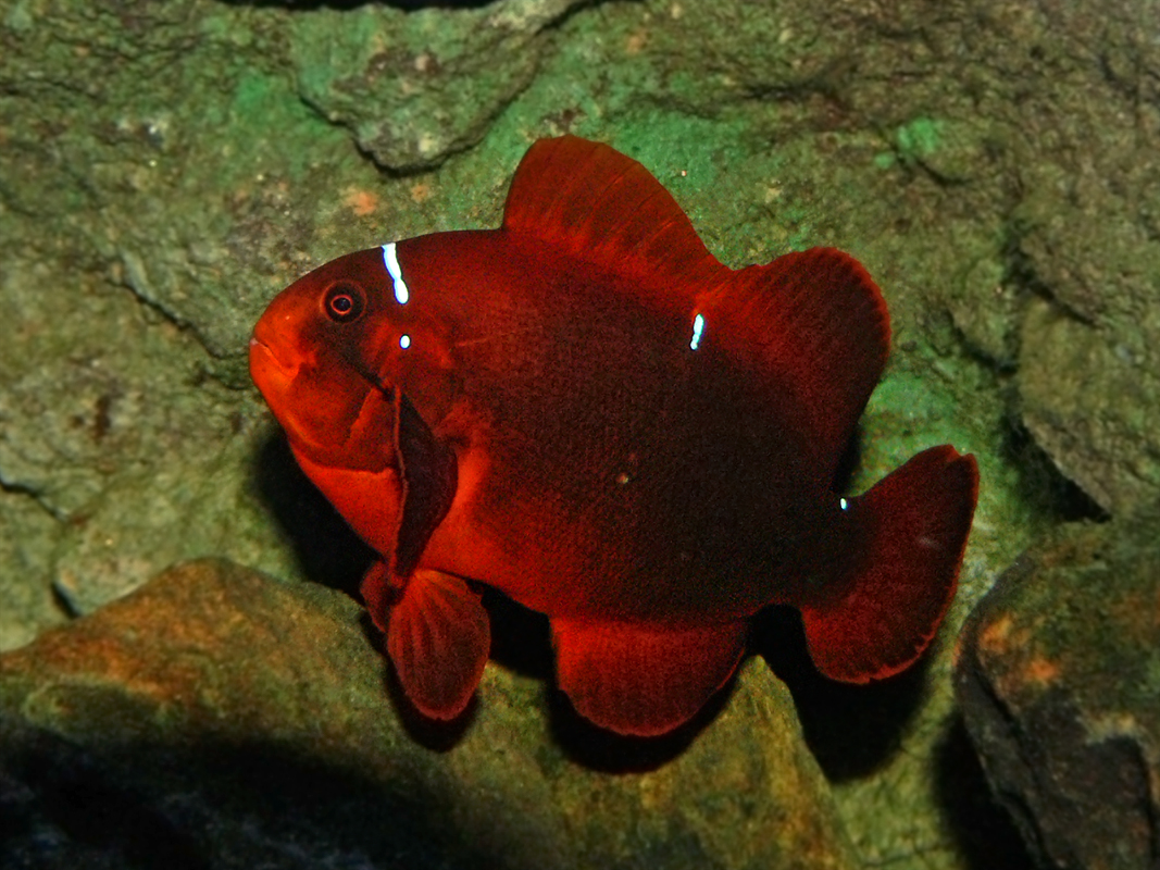 Maroon clownfish wikipedia for Clown fish for sale