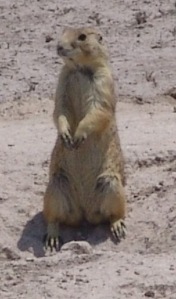 The average adult weight of a Mexican prairie dog is 900 grams (1.98 lbs)
