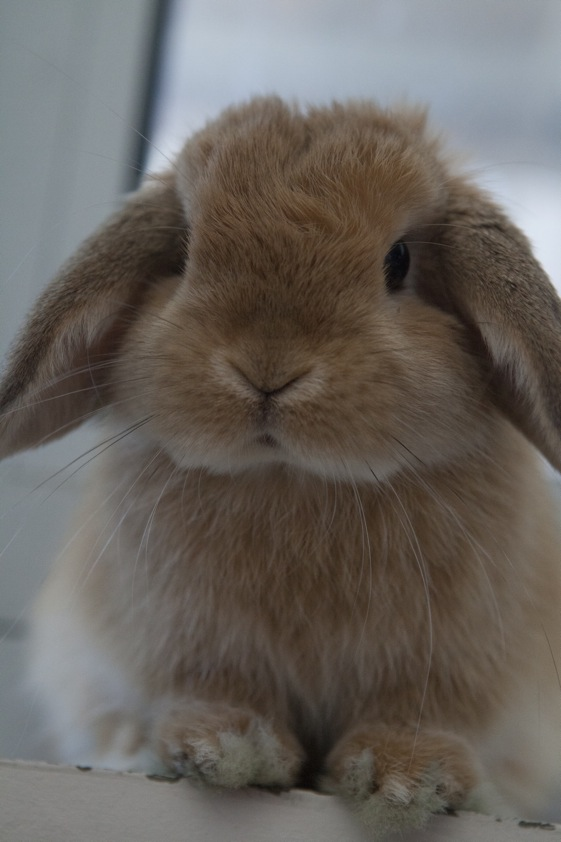 Mini Lop Rabbit Full Size