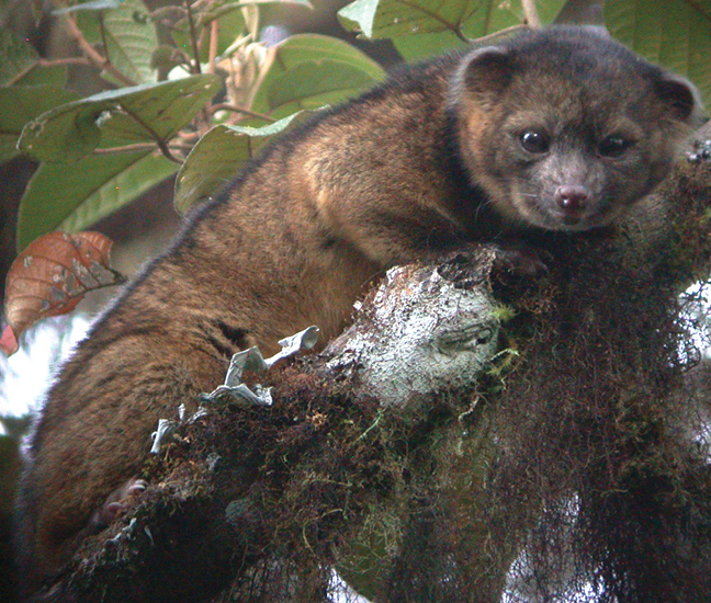 the adorable olinguito #animals #wildlife
