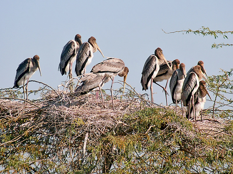 File:Painted Stork- Immatures at nest- Im IMG 8531.jpg
