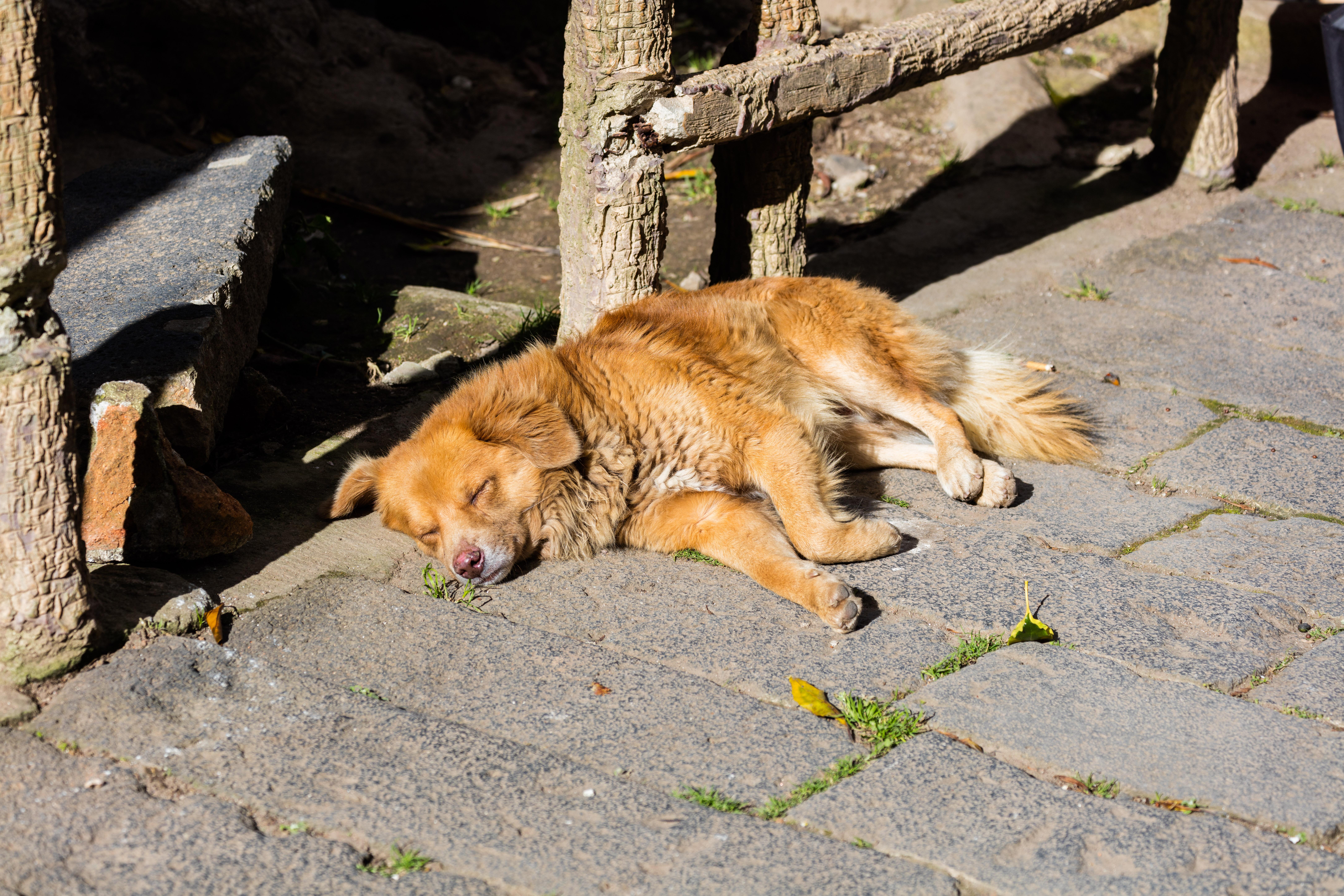 File:Perro tomando el sol, Ipiales, Colombia, 2015-07-21 ...