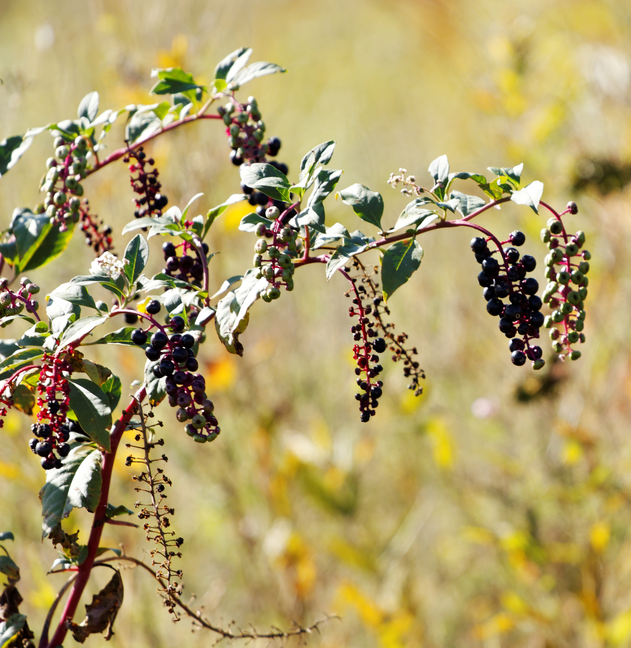 By Dennis Blythe (Pokeweed) [CC BY 2.0 (http://creativecommons.org/licenses/by/2.0)], via Wikimedia Commons