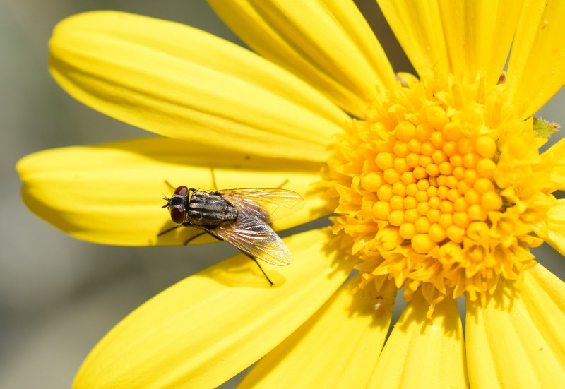 זבוב פרח