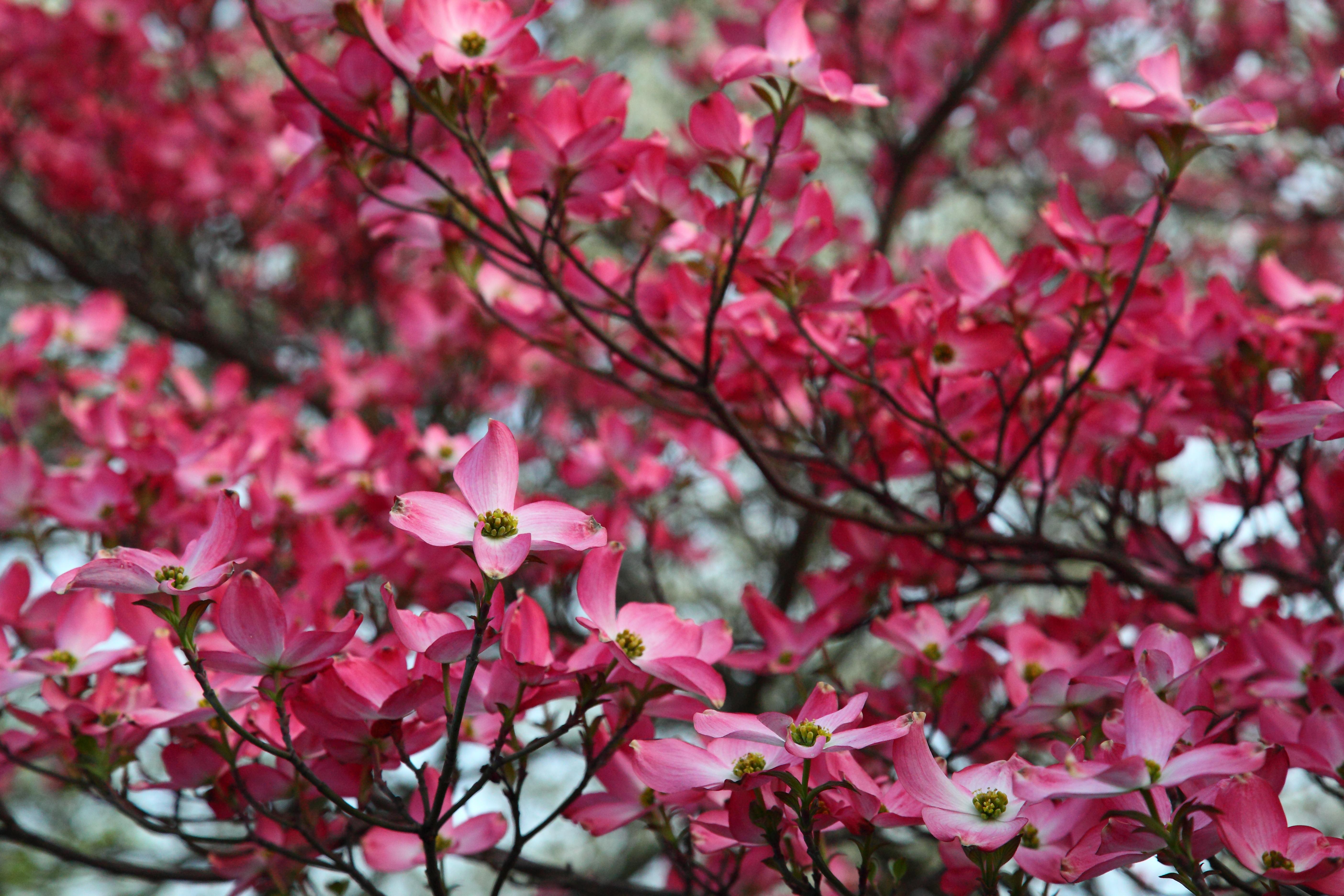file pink dogwood tree spring bloom west virginia forestwander