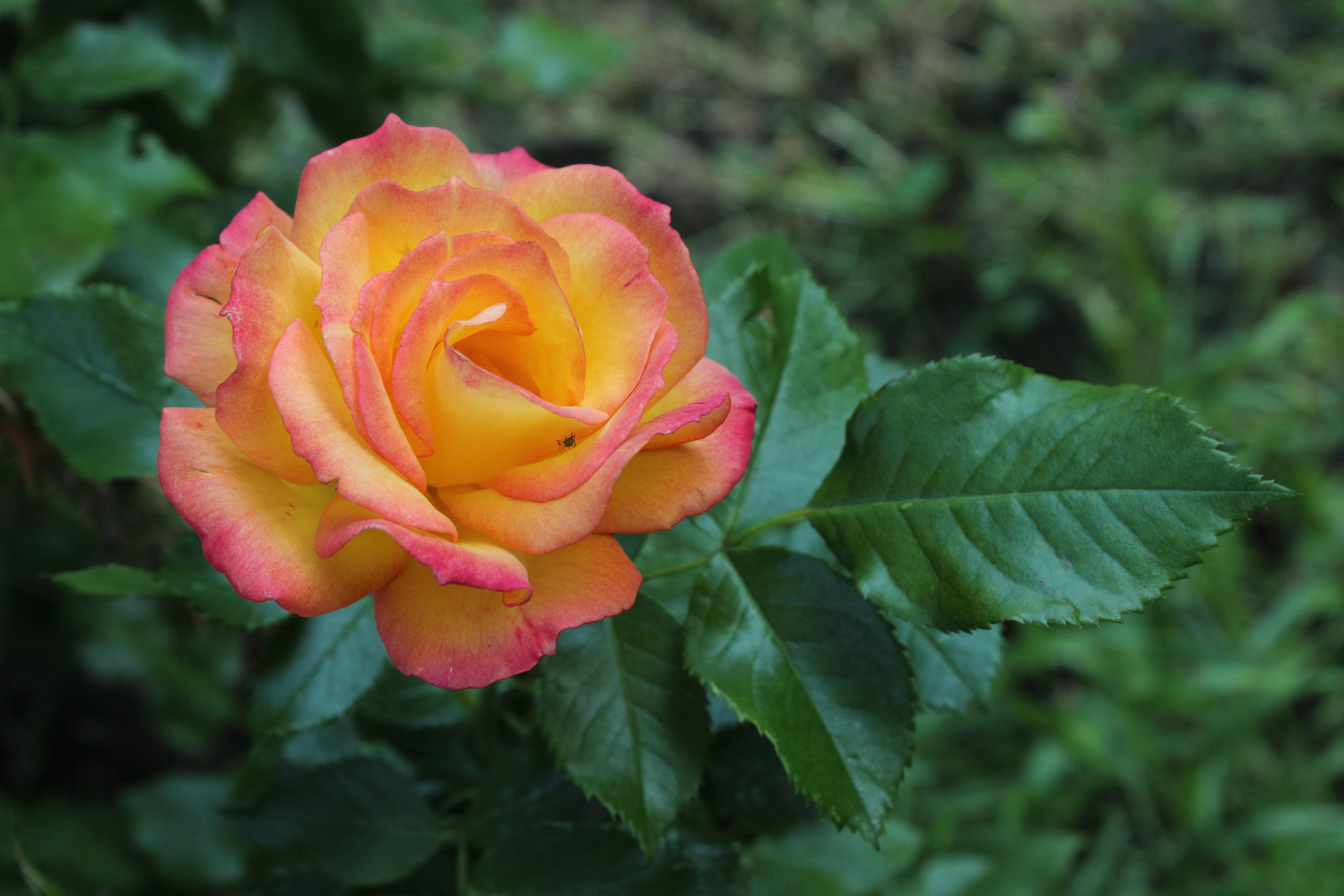 роза бонанза фото отзывы были