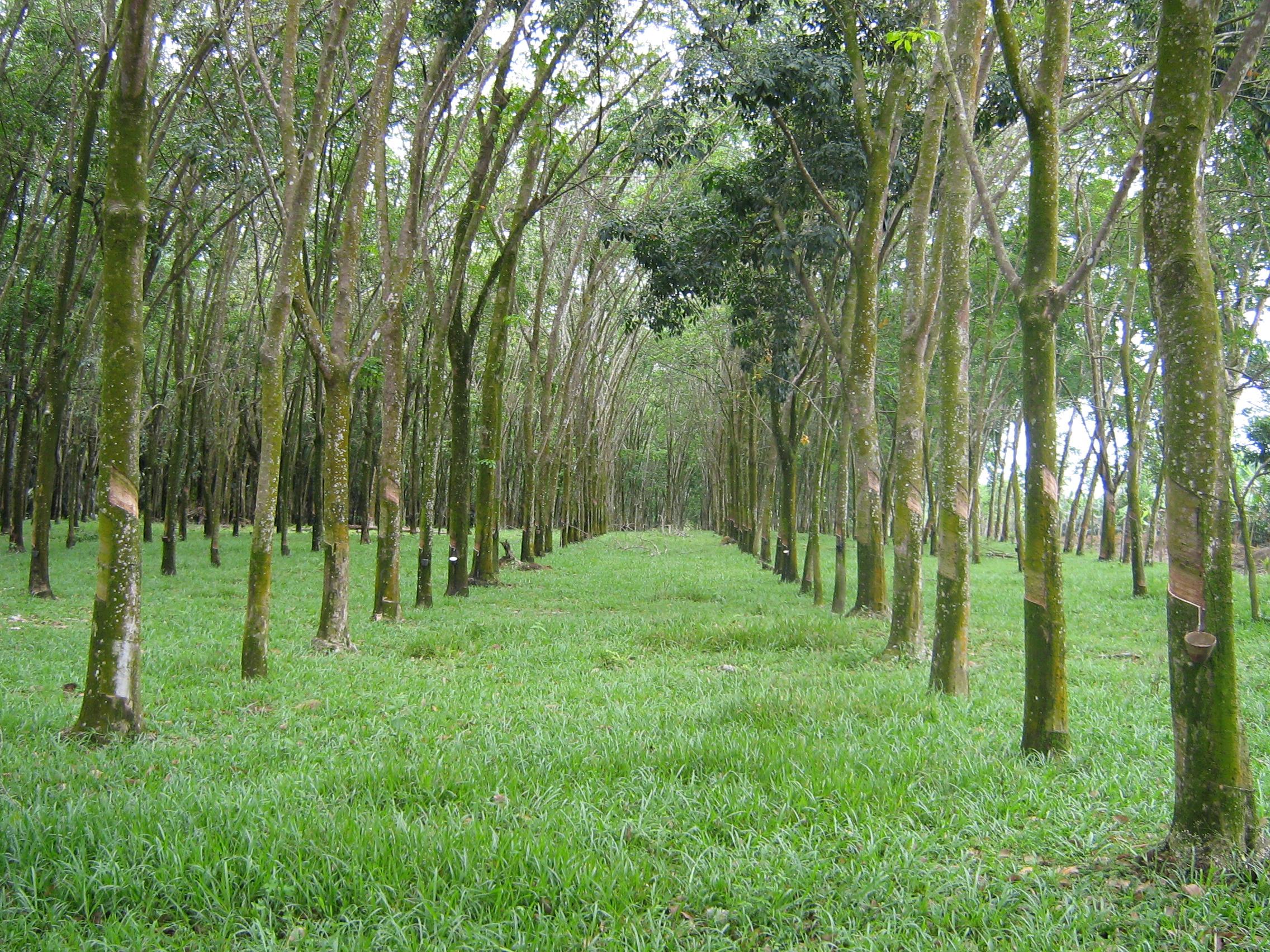 Farm Malaysia Sale Rubber Tree Farm Malaysia