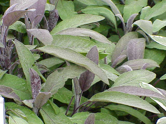 Salvia officinalis2