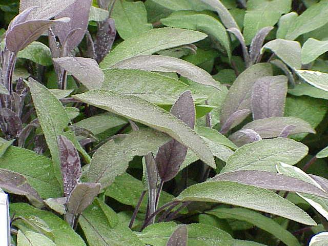 Salvia officinalis2