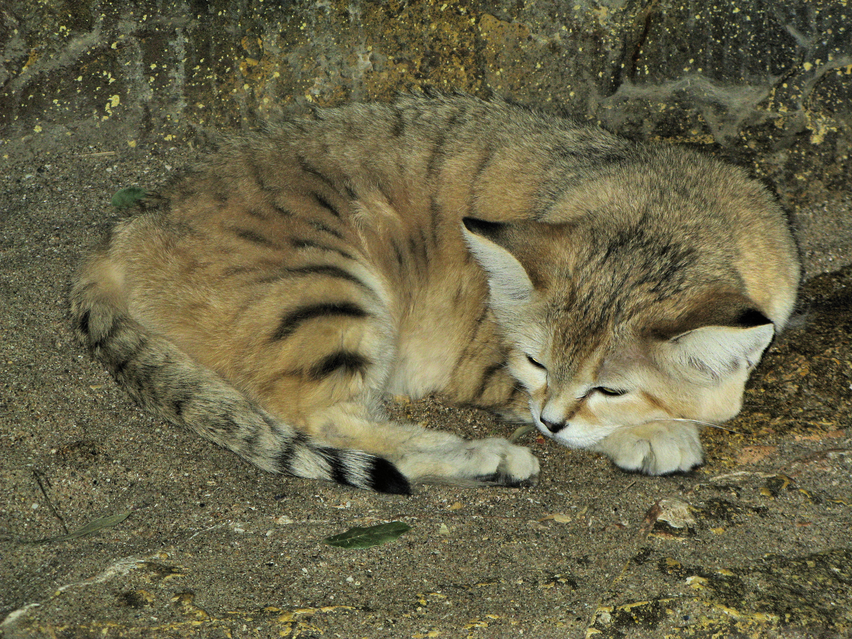 File:Sand cat at bristol zoo arp.jpg - Wikimedia Commons
