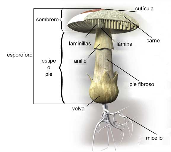 File sch ma champignon agaricale wikimedia commons - Comment cuisiner les trompettes de la mort champignons ...