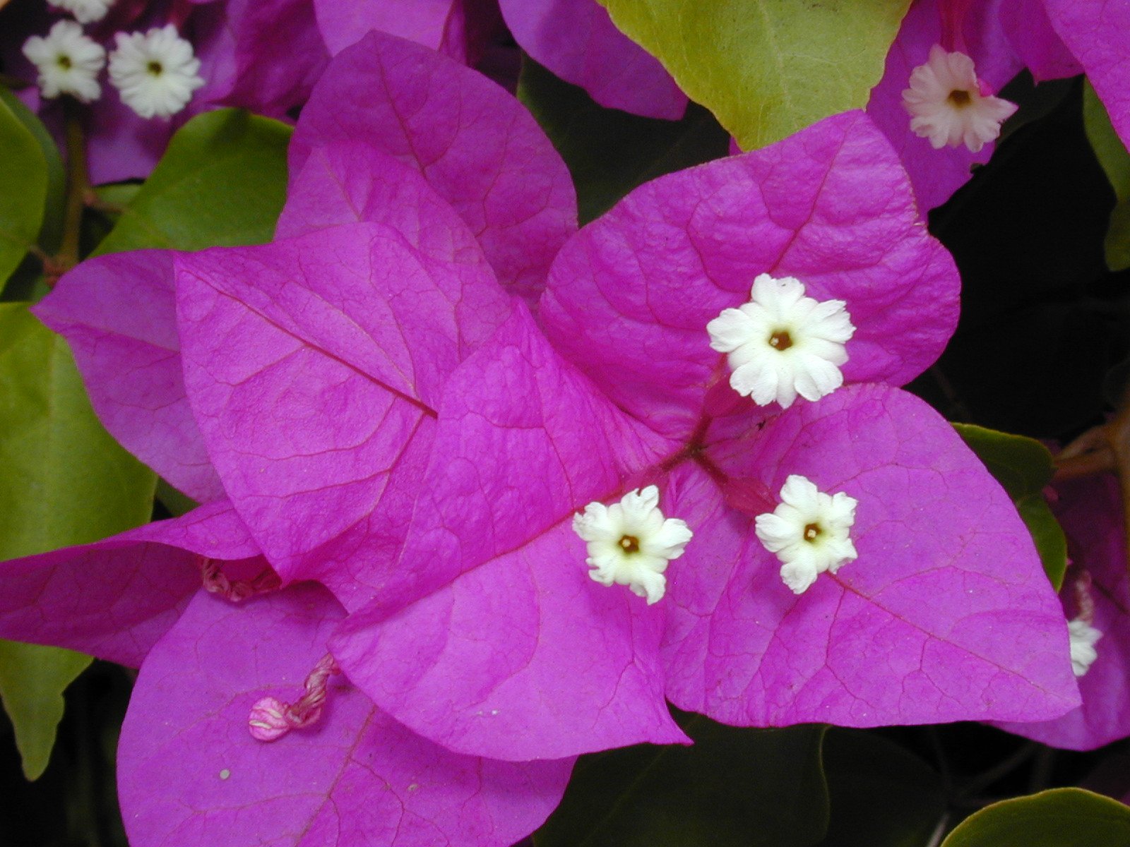 Beautiful desert Flower - the bougainvillea