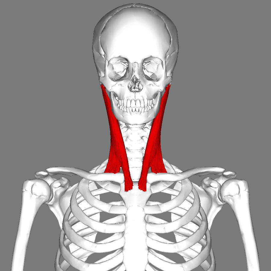 File:Sternomastoid muscle frontal.png - Wikimedia Commons