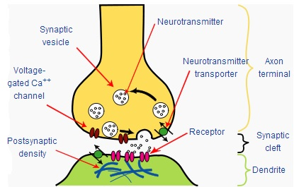 File:Synapse diagram picture.jpg - Wikimedia Commons