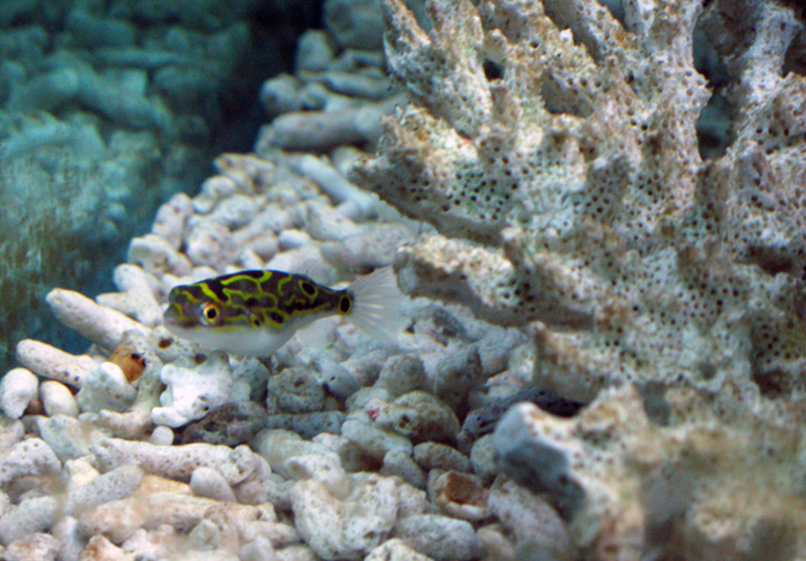 Simple Figure 8 Puffer Tetraodon Biocellatus Info The
