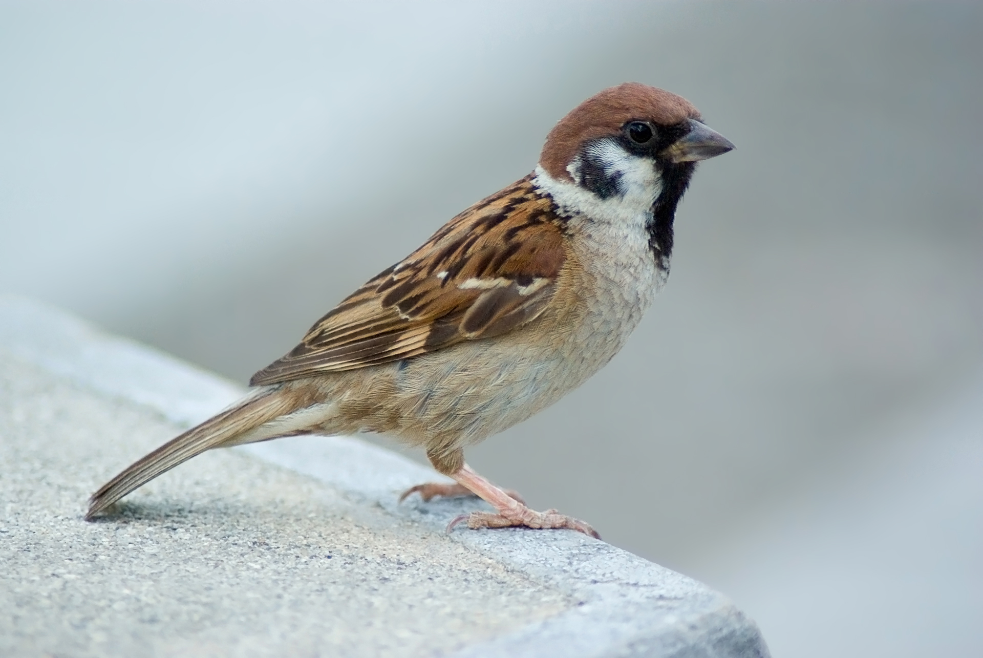 File tree sparrow august 2007 osaka wikipedia Pictures of birds