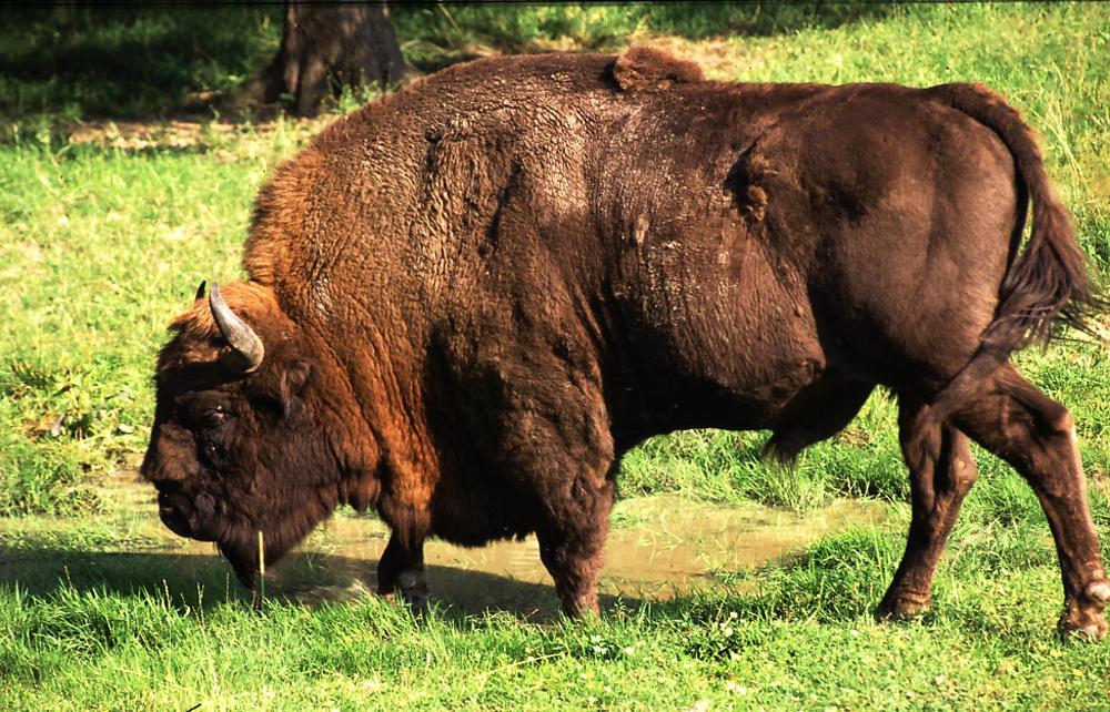 bison - photo #26