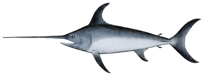 Swordfish or broadbill