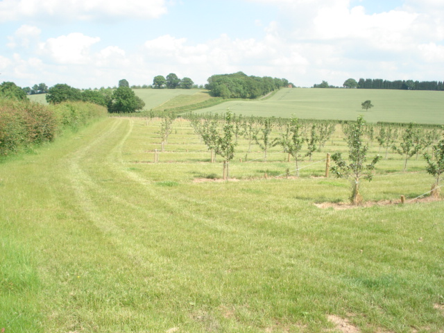 Young apple trees on Hockham's Farm - geograph.org.uk - 456668