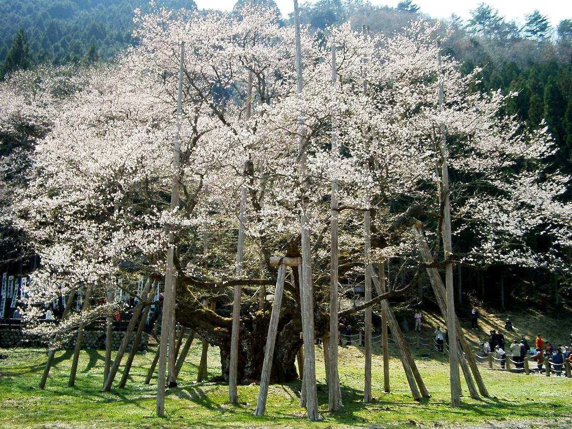 淡墨桜(cherry-Usuzumizakura).JPG