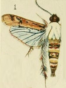 01-Melittia haematopis Fawcett, 1916.JPG