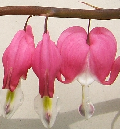 File:2006-04-26Dicentra spectabilis01.jpg