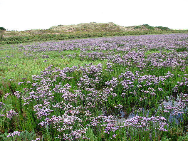 https://upload.wikimedia.org/wikipedia/commons/9/99/A_carpet_of_sea_lavender_-_geograph.org.uk_-_909202.jpg
