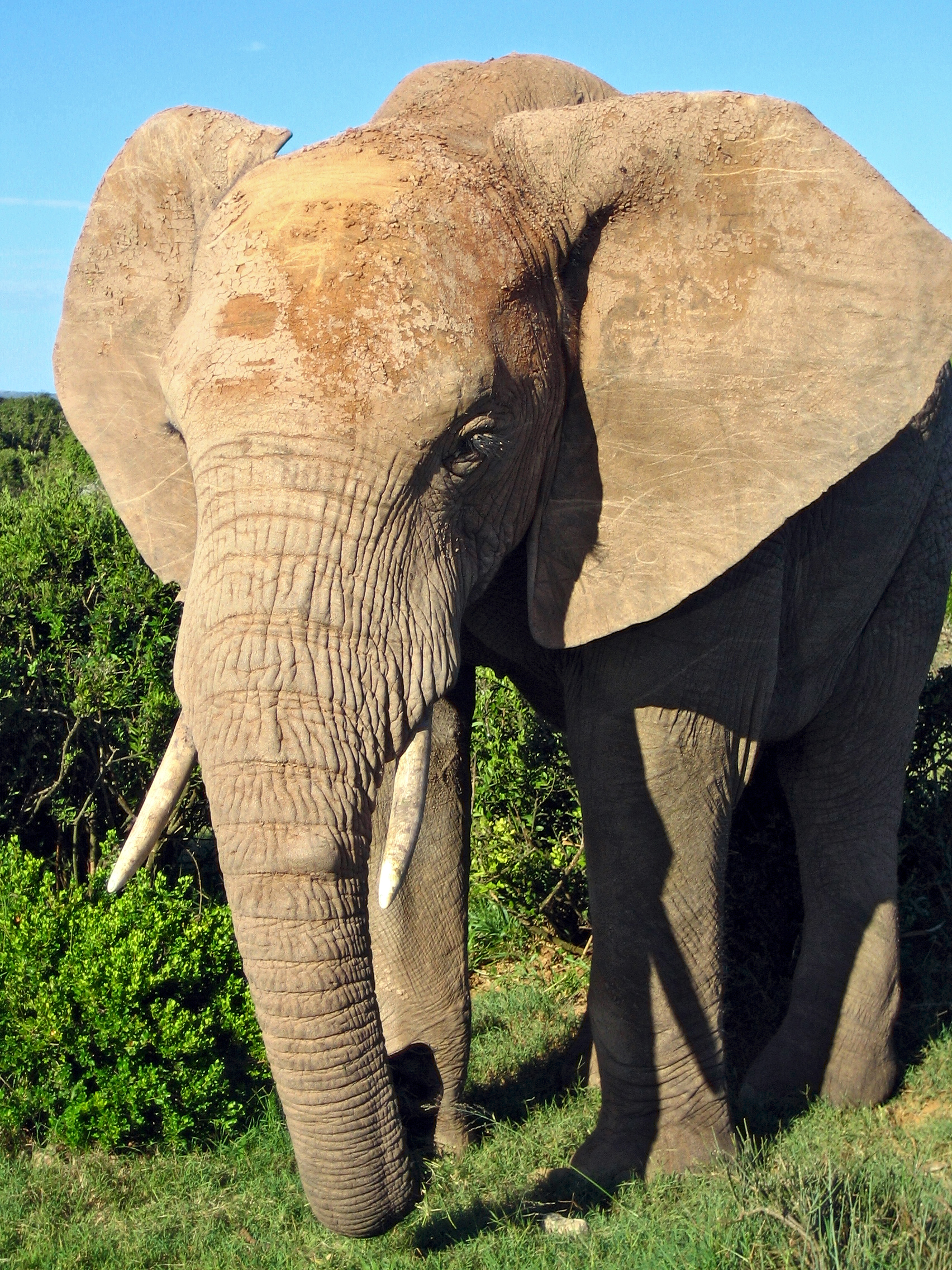 https://upload.wikimedia.org/wikipedia/commons/9/99/African_Elephant.jpg