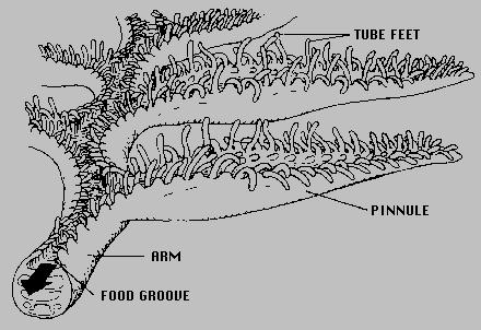 fileambulacrum crinoideapng wikimedia commons