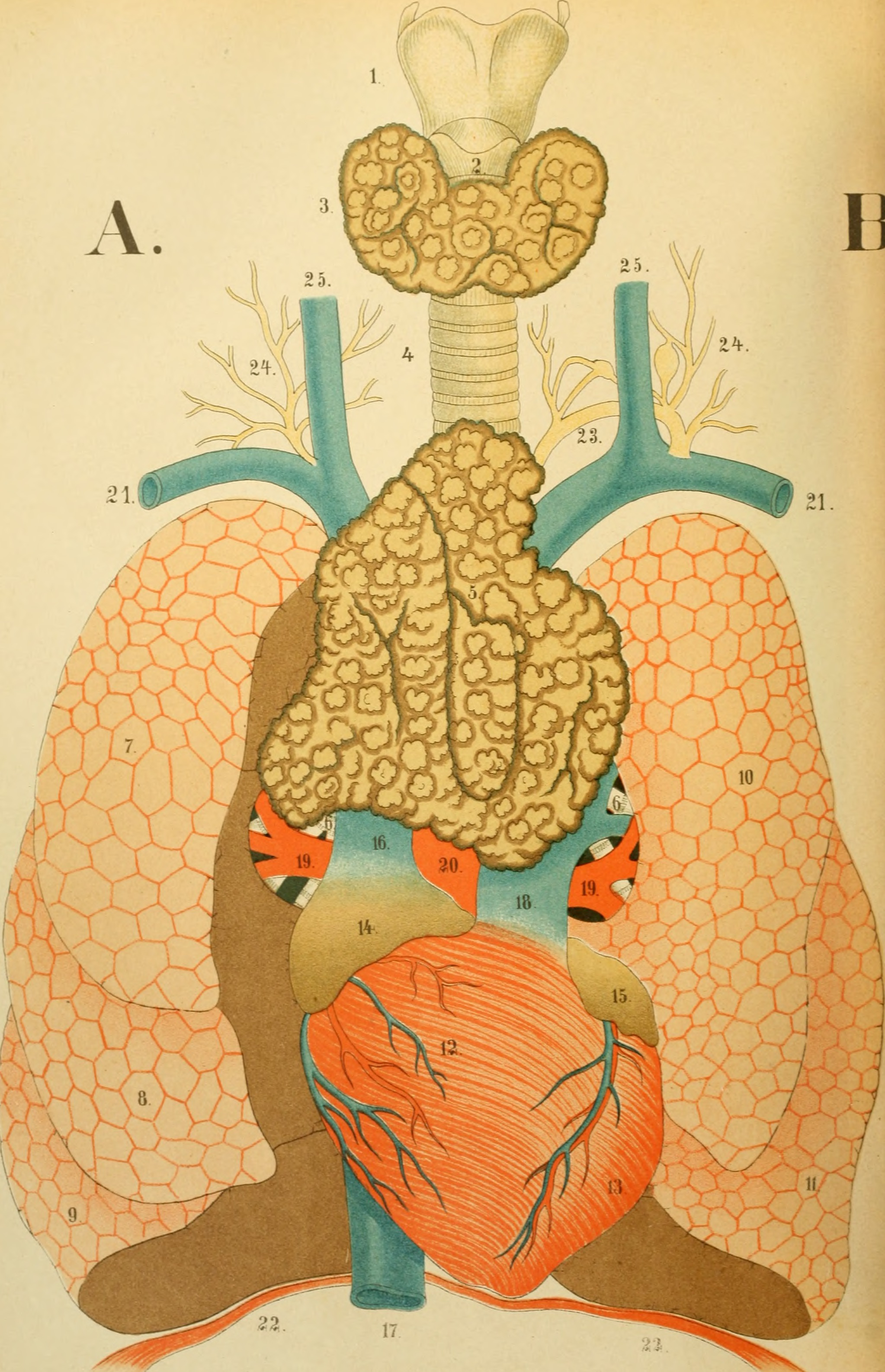 Filean Atlas Of Anatomy Or Pictures Of The Human Body In Twenty