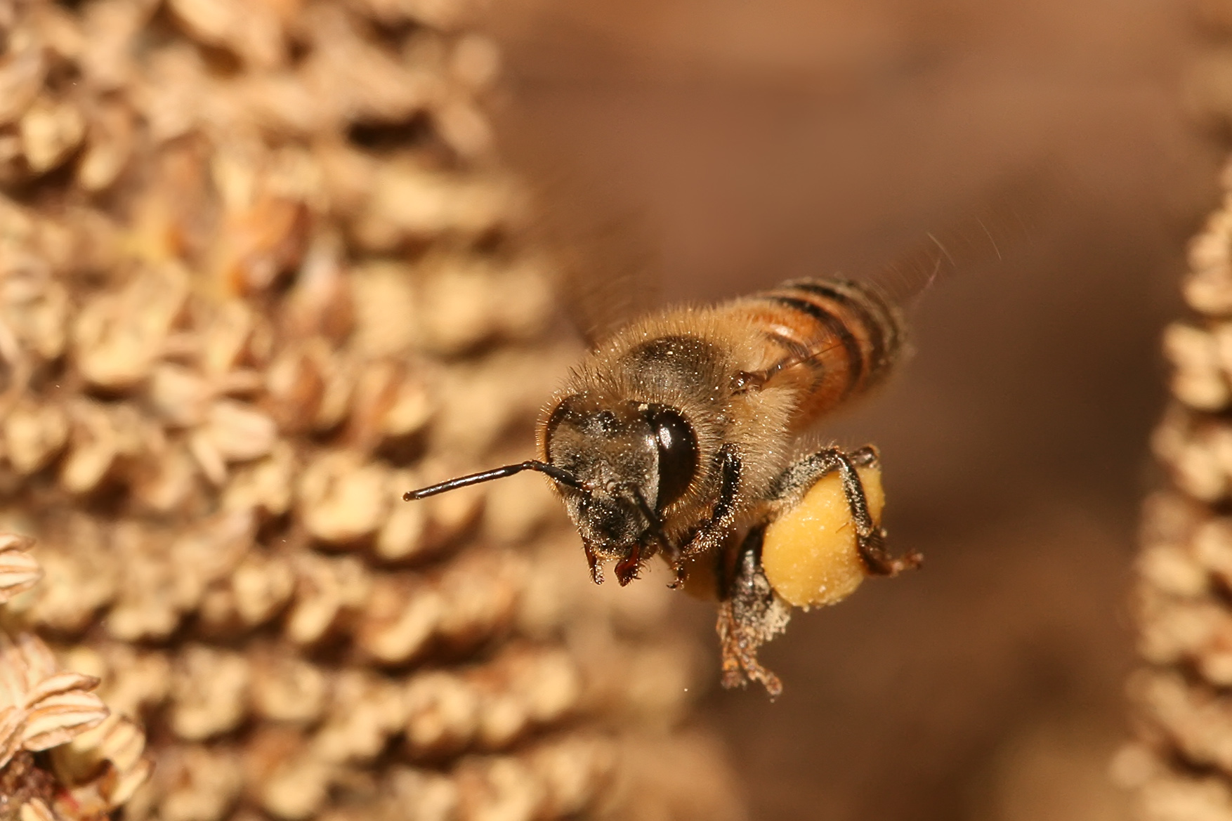 https://upload.wikimedia.org/wikipedia/commons/9/99/Apis_mellifera_flying.jpg
