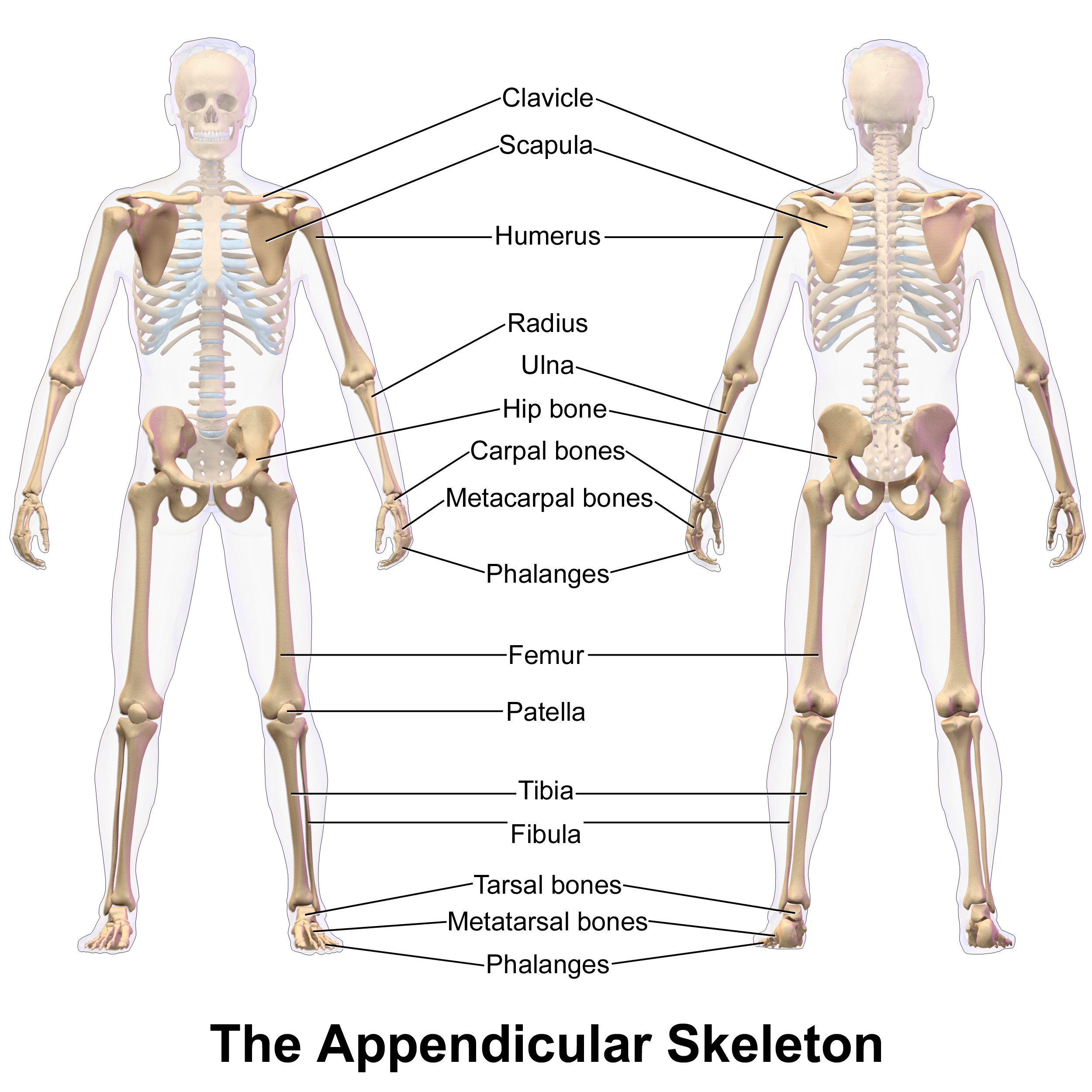 the appendicular skeleton Exercise 11: the appendicular skeleton 1 deltoid tuberosity raised area on  lateral surface of humerus to which deltoid muscle attaches 2 humerus arm  bone.