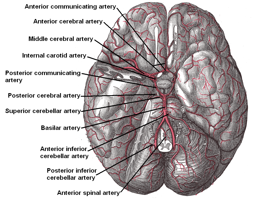 Anterior communicating artery wikiwand the arteries of the base of the brain anterior communicating artery at top the ccuart Choice Image