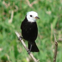 Lavadeira de cabe a branca wikip dia a enciclop dia livre for Oiseau tete noire et blanche