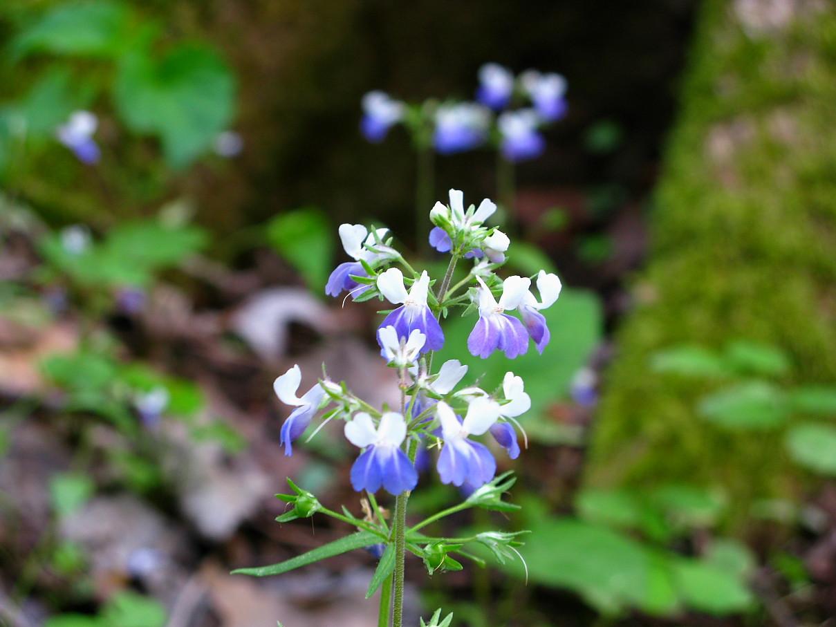 Fileblue White Wildflower Forest West Virginia Forestwanderg