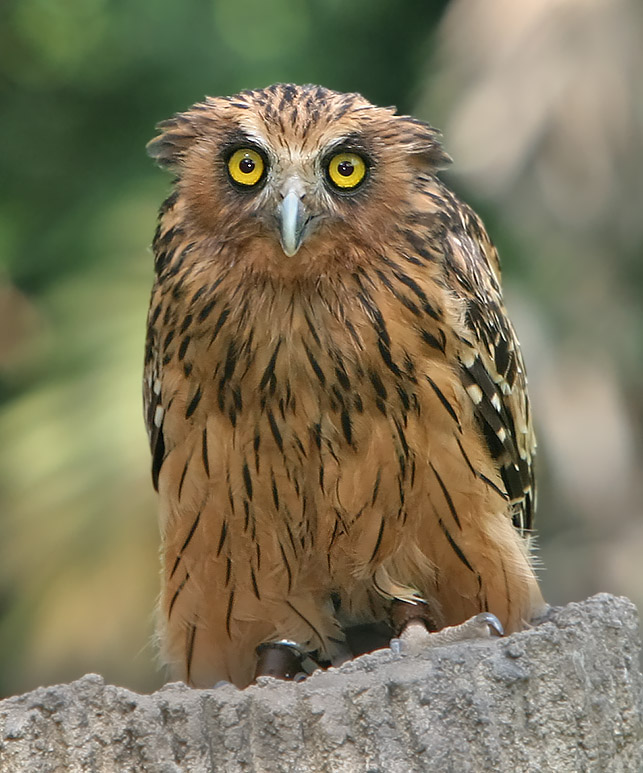 Science is super owls for Do owls eat fish
