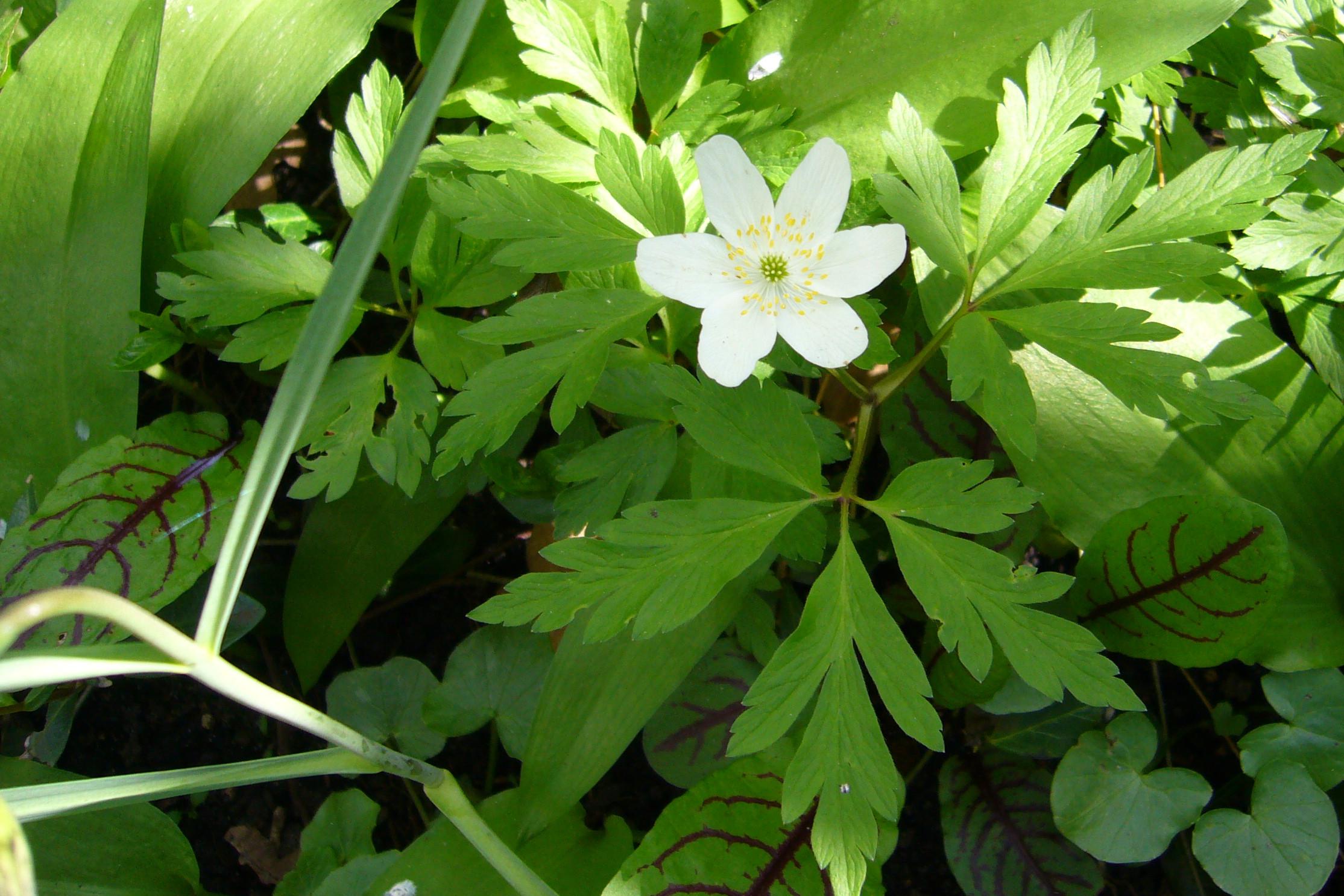 Garten Im September file buschwindröschen anemone nemorosa im garten jpg wikimedia