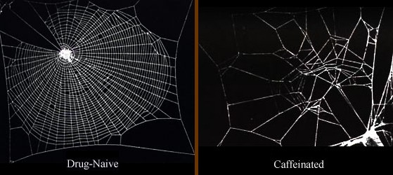 Spider caffeine before after photo