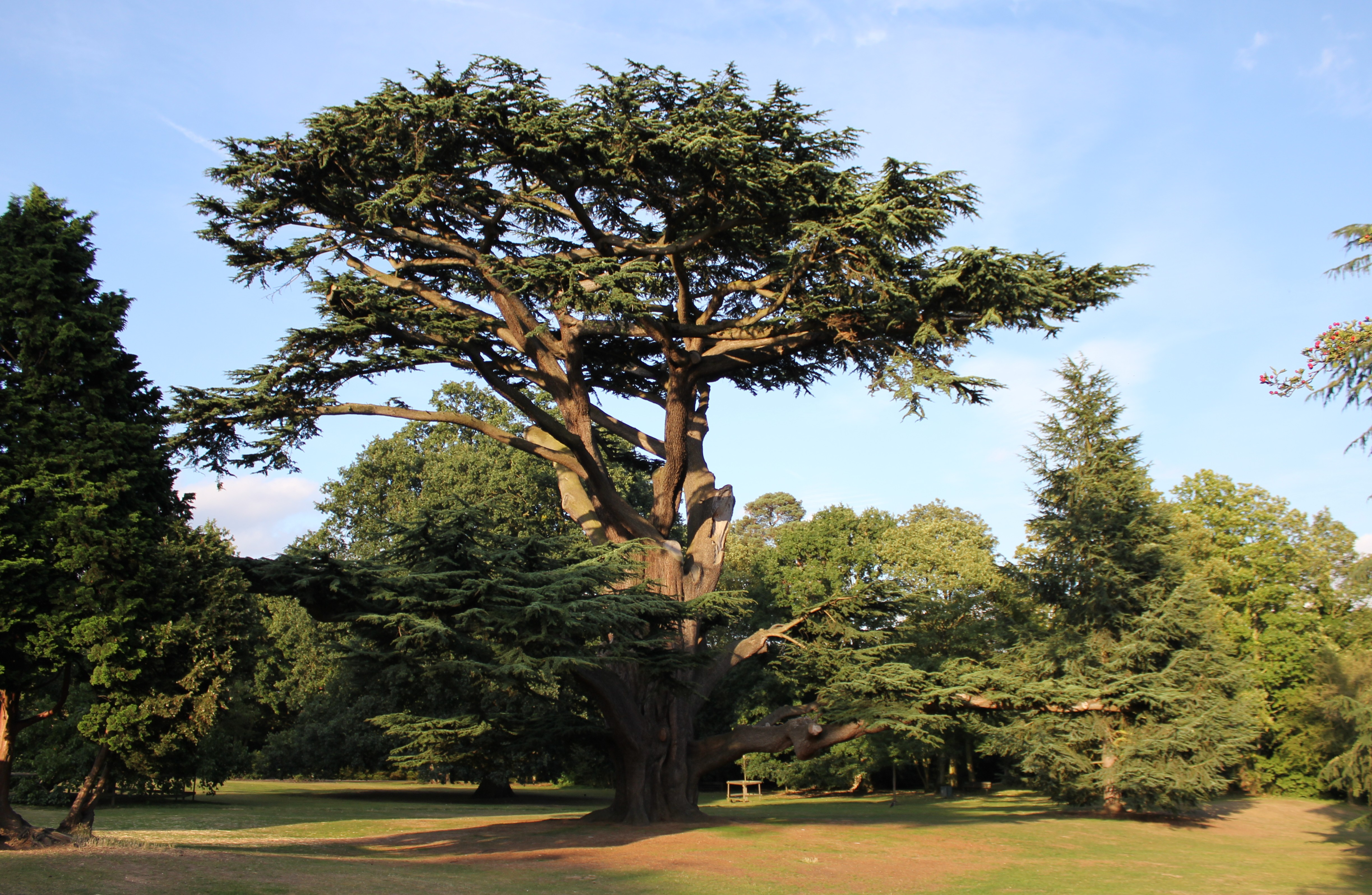 Cedars Of Lebanon ~ File cedrus libani forty hall enfield g wikimedia