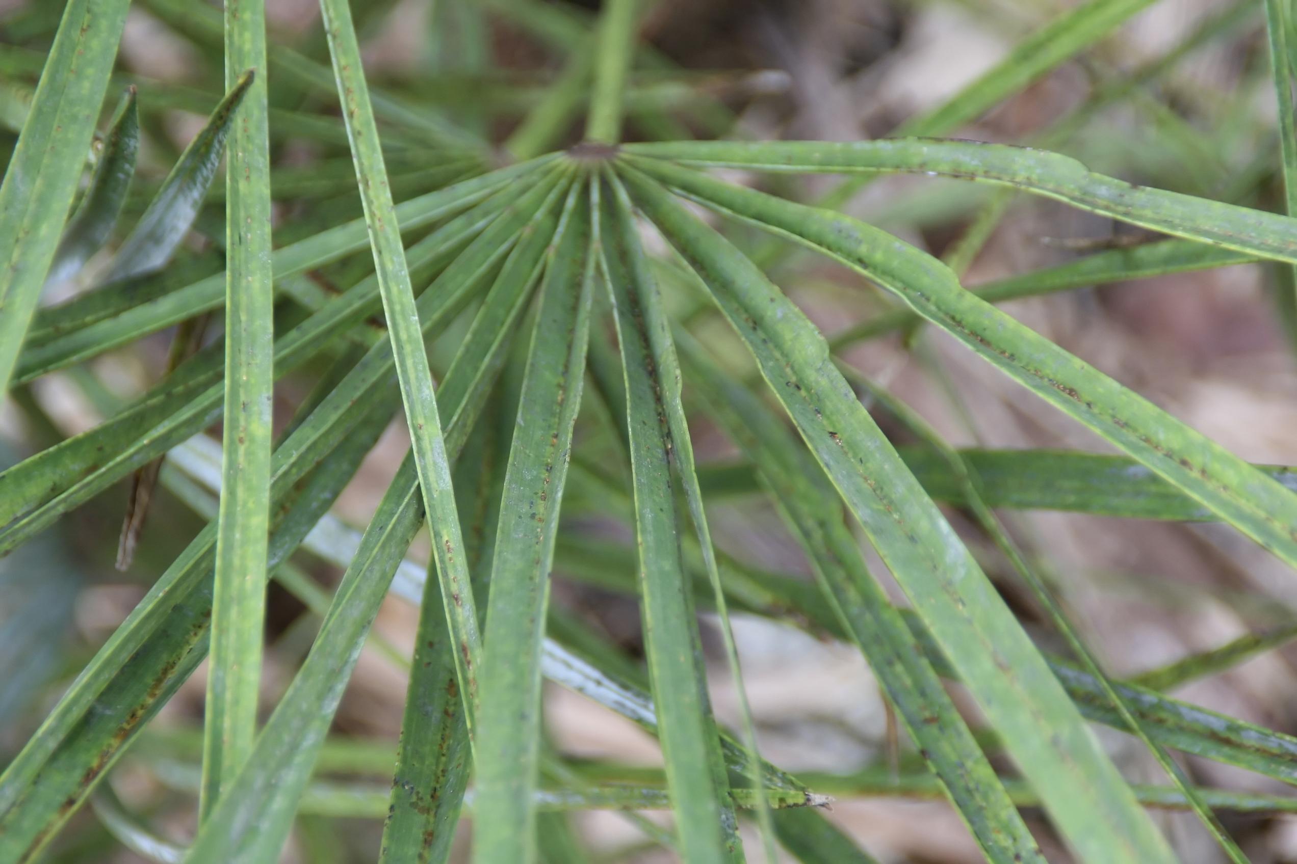 Chamaerops humilis 16zz.jpg English: Location taken: Fairchild Tropical Botanic Garden, Miami, FL USA. Names: Chamaerops humilis L., Cefaglioni