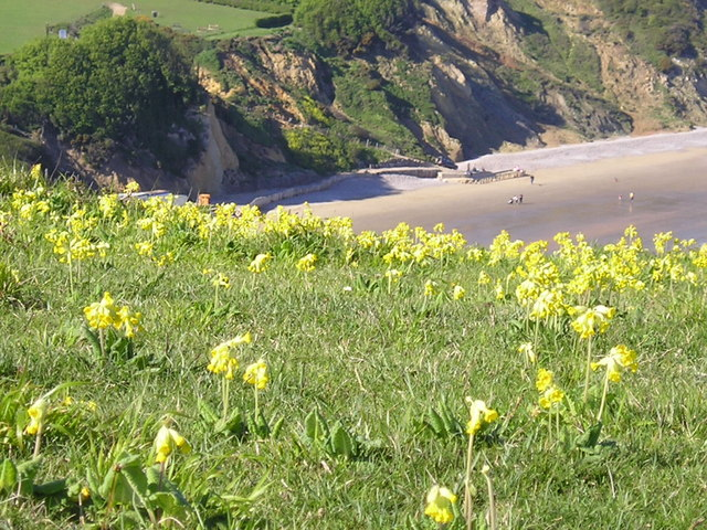 Cowslips on Culver Down - geograph.org.uk - 358331