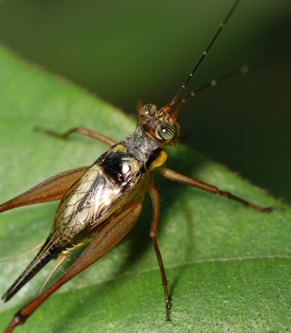 Crickets wiktionary buycottarizona Image collections