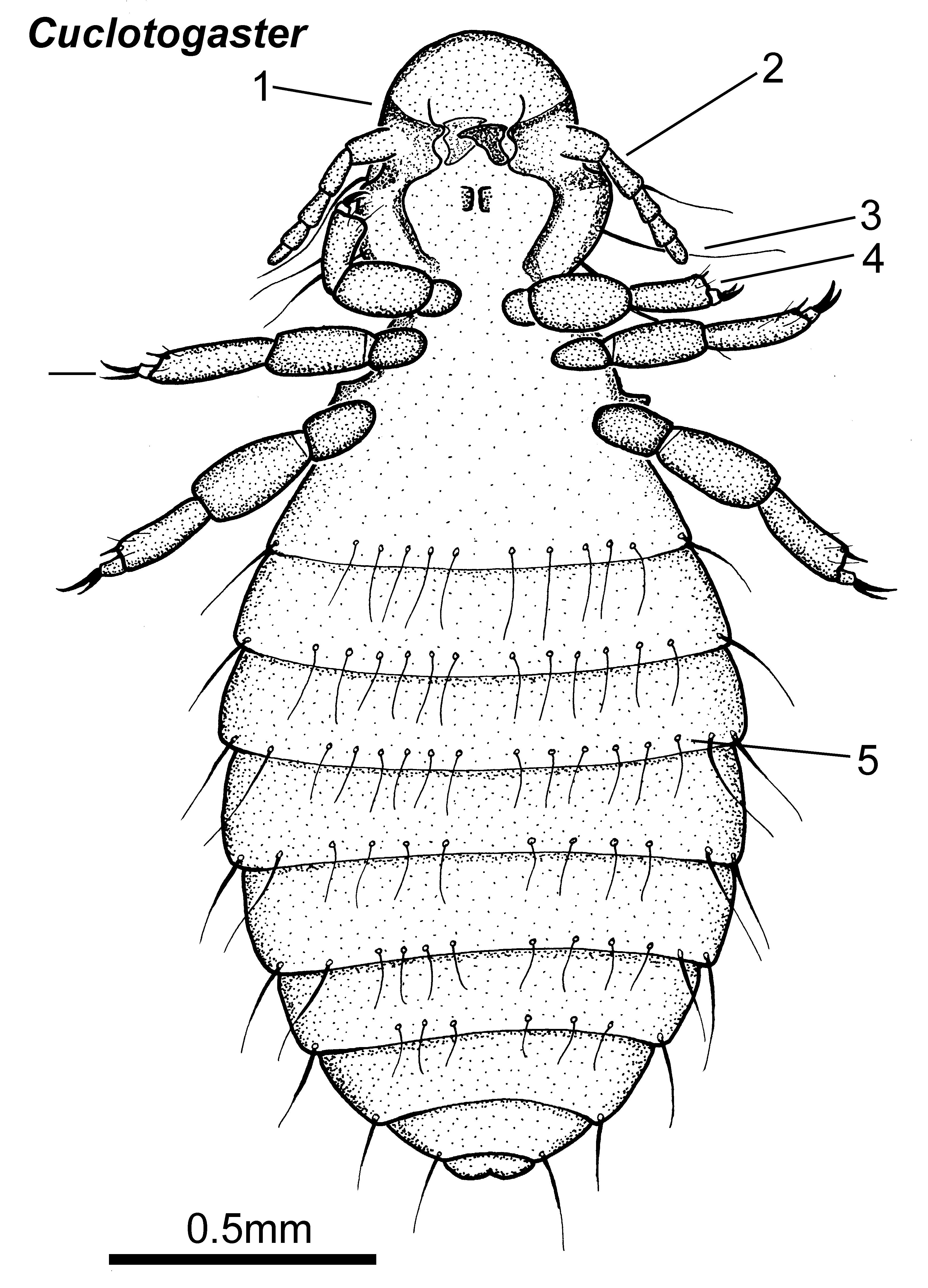 Acarologiste, CC BY-SA 4.0 <https://creativecommons.org/licenses/by-sa/4.0>, via Wikimedia Commons