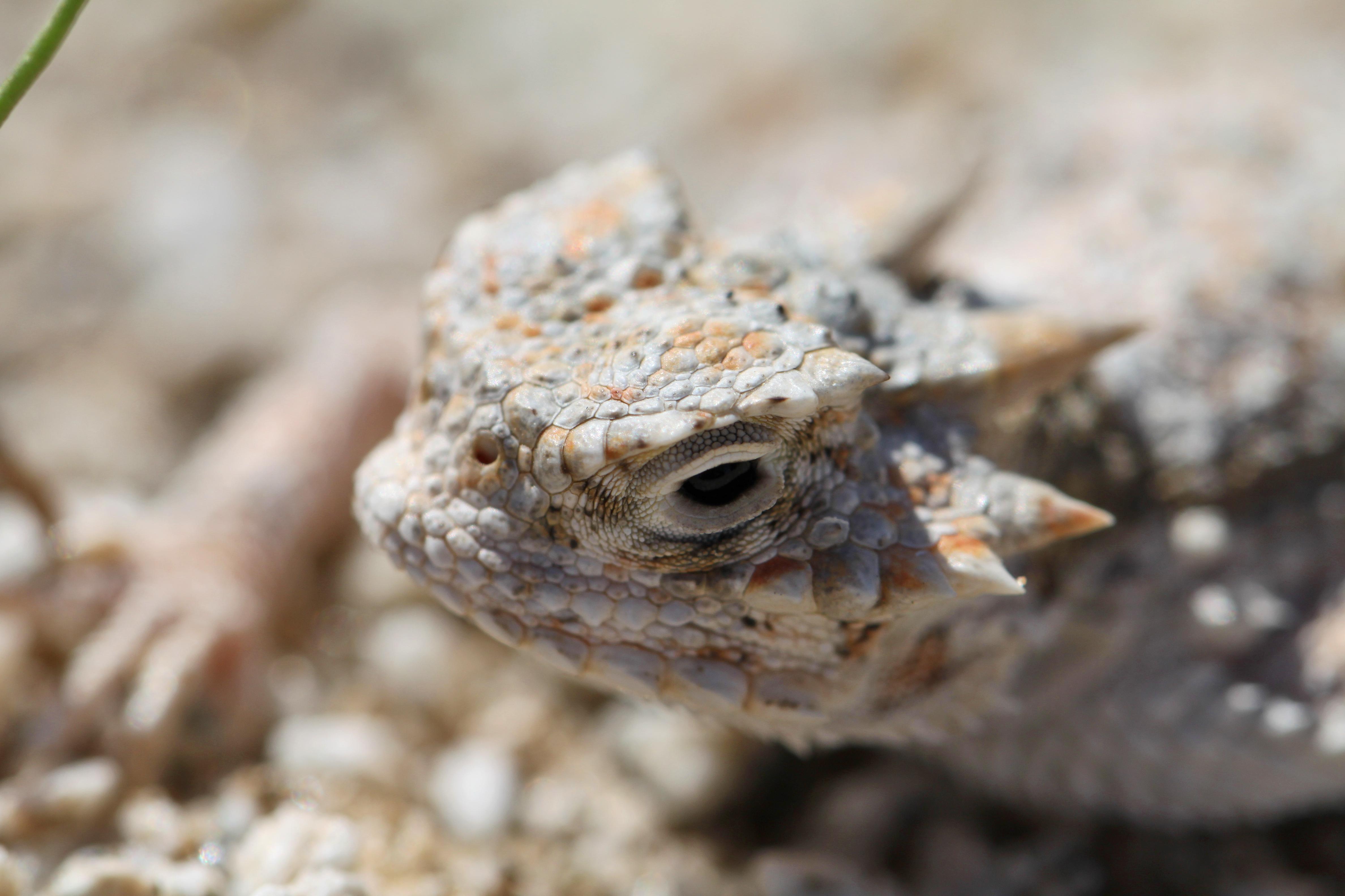 File:Desert Horned Lizard (Phrynosoma platyrhinos); Pinto ...
