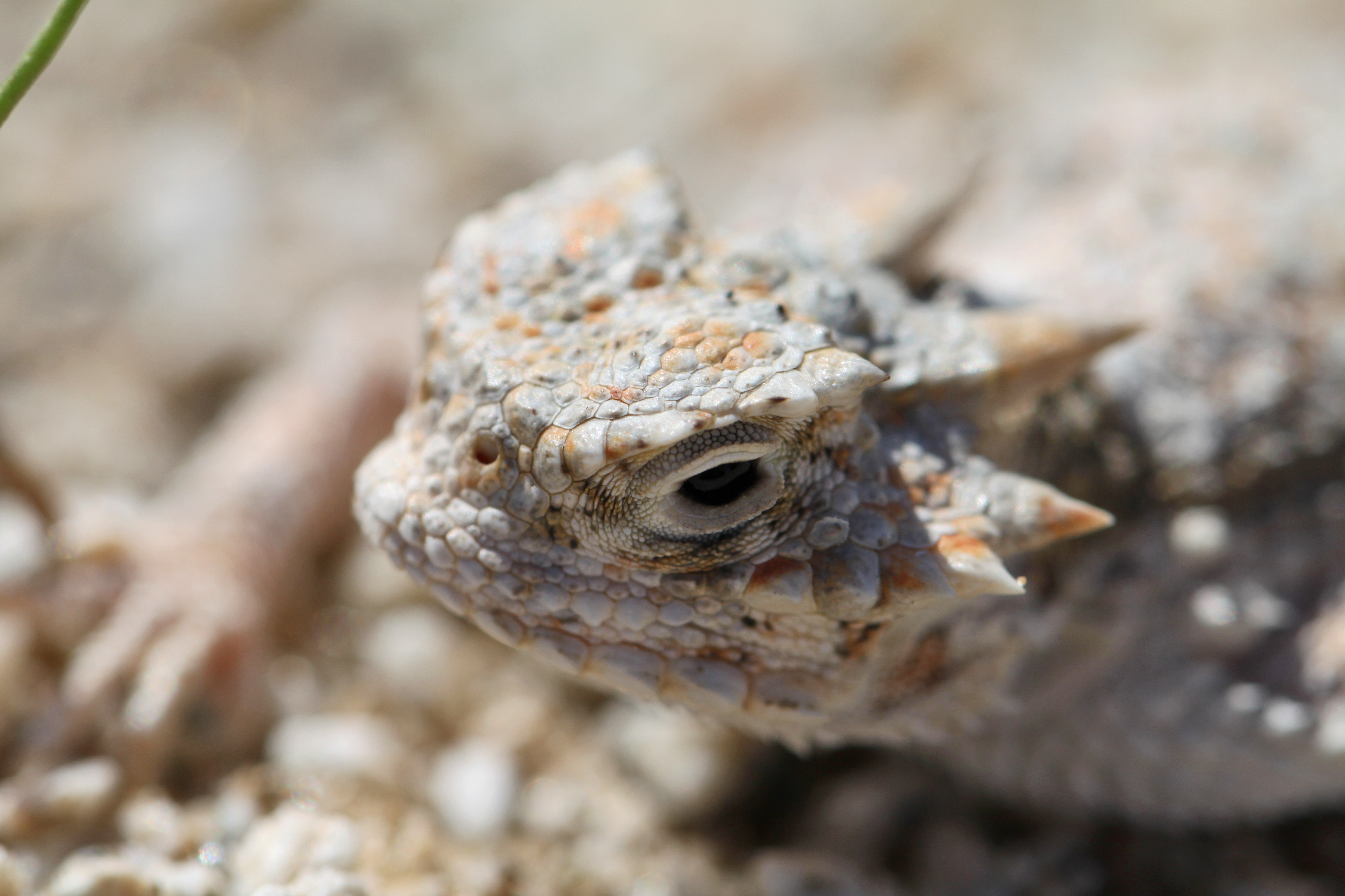 Desert Horned Lizard (Phrynosoma Platyrhinos) - Sonoran Desert ...