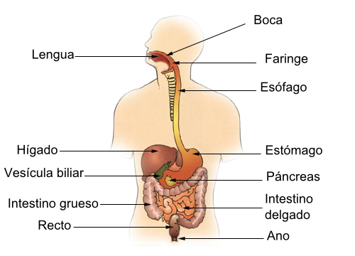 Digestive System Diagram In Spanish Find Wiring Diagram