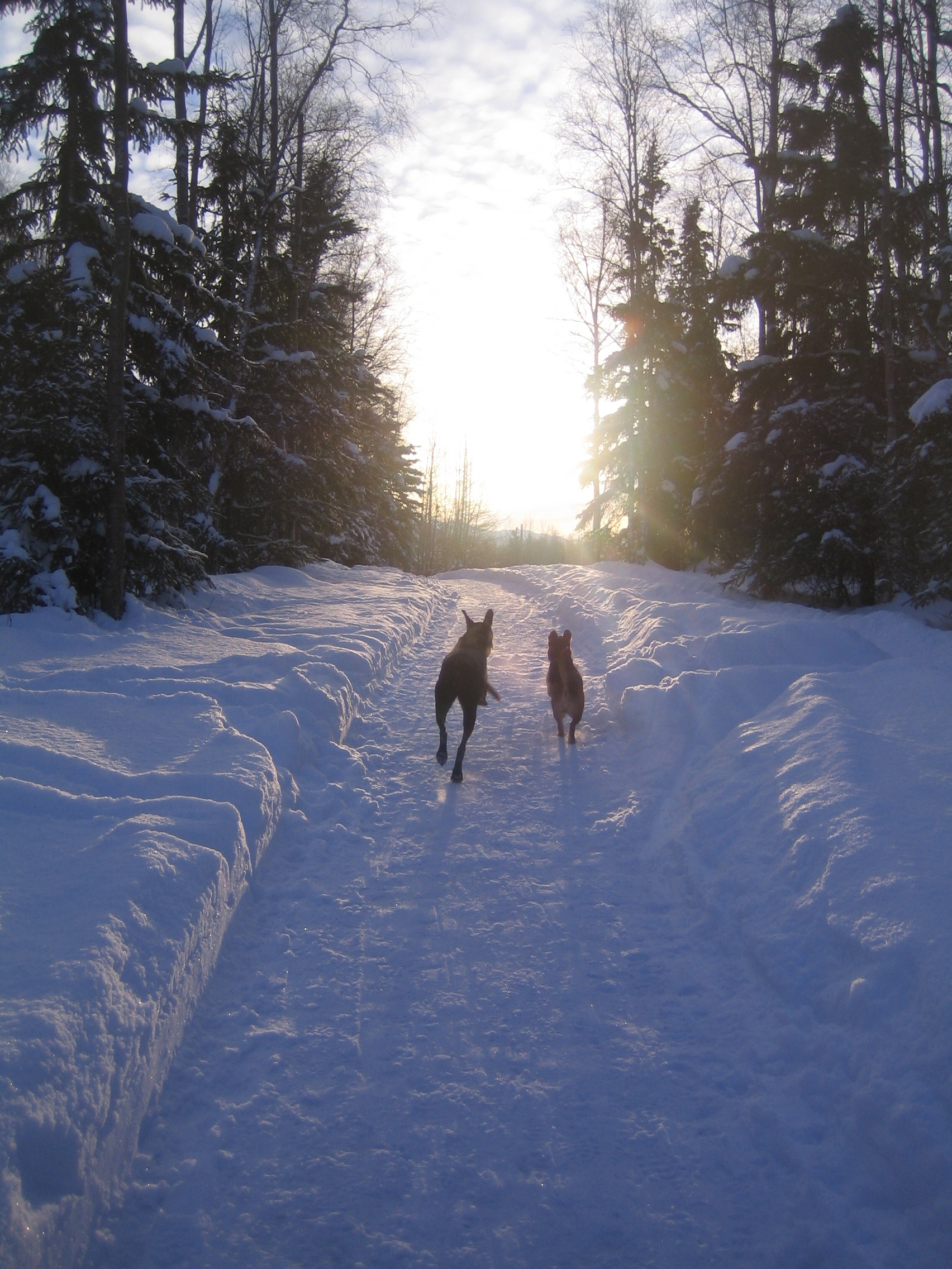 File Dogs Running Into Sunset In Rabbit Creek Park In Anchorage  Alaska Jpg