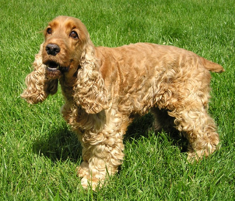 photo of English Cocker Spaniel